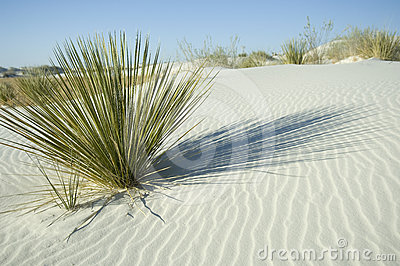 Green plant in white sand dune