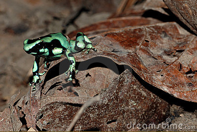 Green poison dart frog in Costa Rica