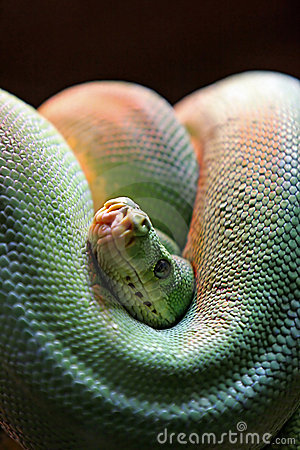 Green snake coiled with head in focus