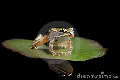 Green pond frog on water lily leaf reflection