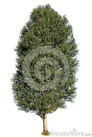 Green poplar