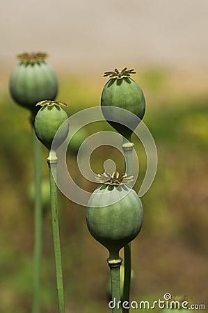 Green poppyhead
