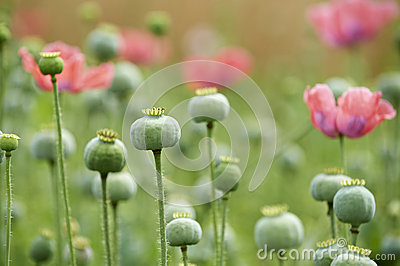 Green poppyheads