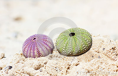 Green and purple see urchin at the beach