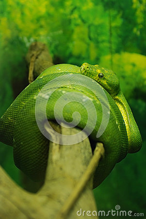 Green python snake, close up to the eye.