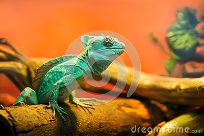 Green quick sighted chameleon