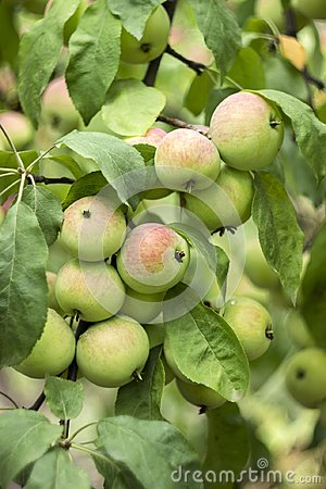 Free Green Red Apples Growing On A Branch On The Tree, Many Fruits. Royalty Free Stock Images - 111134499