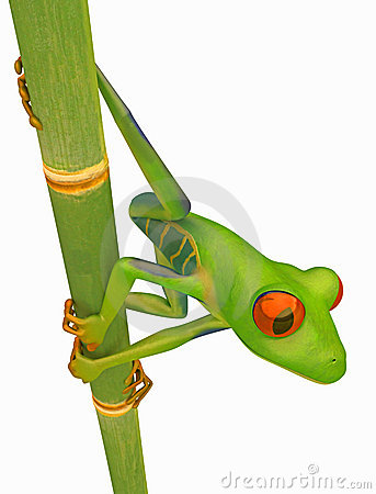 Green Red eyed tree frog on bamboo stem