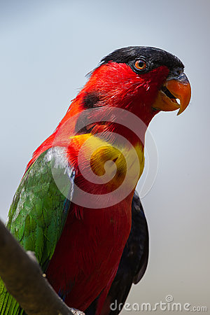 Green Red Lorikeet Bird Close