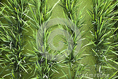Green Rice and Duckweed Background