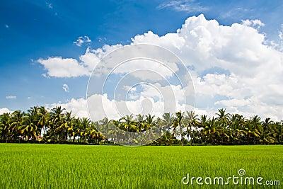 Green rice farm