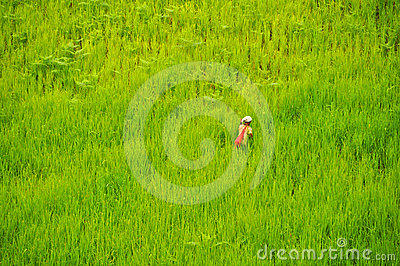 Green rice field Editorial Photo