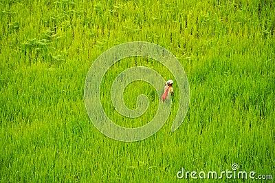 Green rice field Editorial Photo