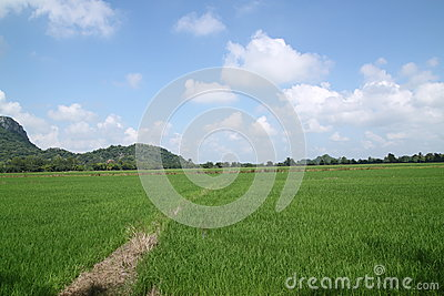 Green rice field and blue sky.