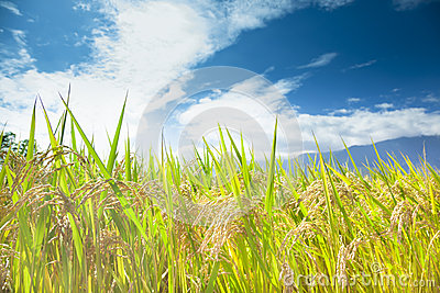 Green rice field with cloud background