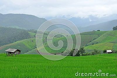 Green rice field in mountain