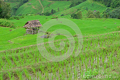 Green rice field in mountain (focus rice field)