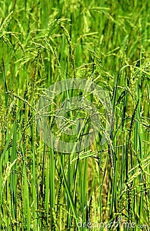 Green rice field texture wallpaper