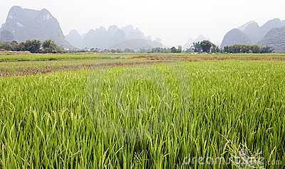 Green rice fields in Asia