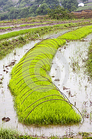 Green Rice Growing on Farm