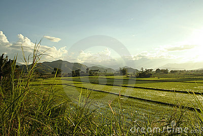 Green rice paddies philippines countryside