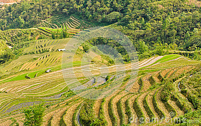 Green rice terraced field
