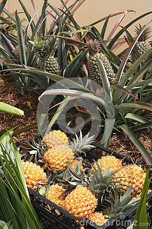 Green and ripe pineapples