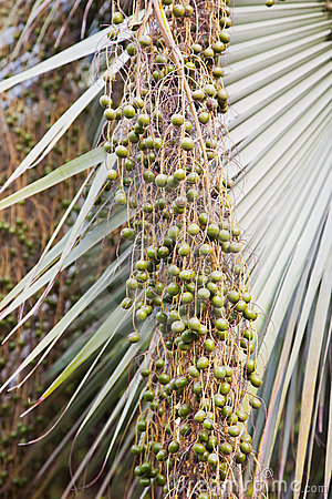 Green ripen bunches of dates