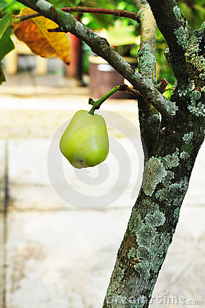 Free Green Rose Apple Tree In The Garden Royalty Free Stock Photo - 20484755