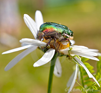 Free Green Rose Chafer Stock Image - 20040221