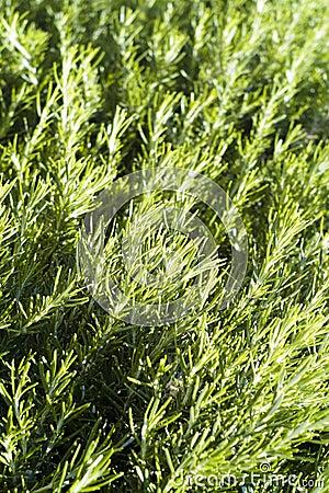 Green rosemary texture