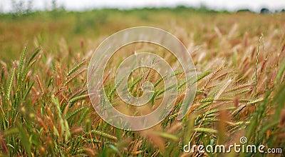 Green rye grain