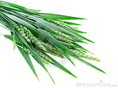 Green rye spikes