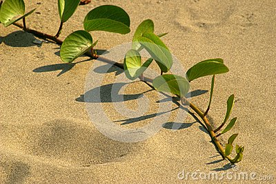 Green Sand vine on beach
