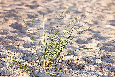 Green sea grass on sand dune