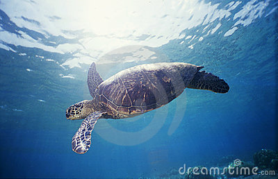 Green Sea Turtle 1