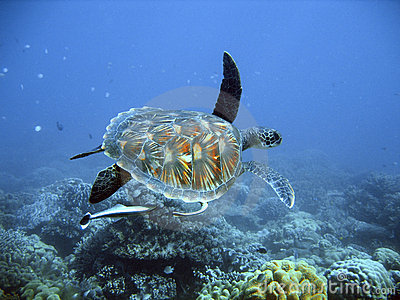 Green Sea Turtle Royalty Free Stock Photo - Image: 2032165