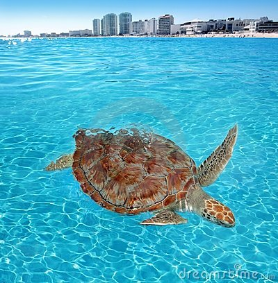 Free Green Sea Turtle Caribbean Sea Surface Cancun Royalty Free Stock Photos - 19161928