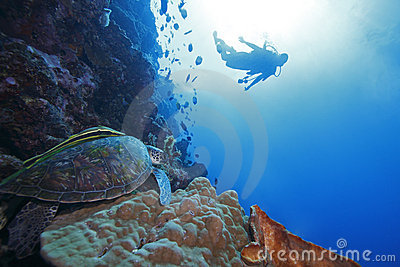 Green Sea Turtle and diver in background