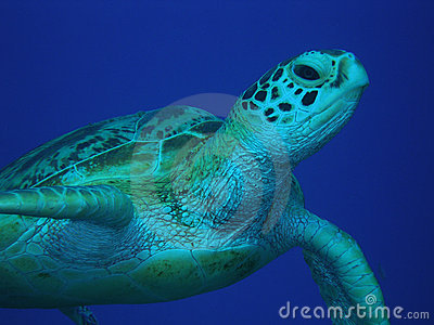Green Sea Turtle mid-water