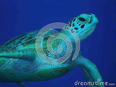 Green Sea Turtle mid-water