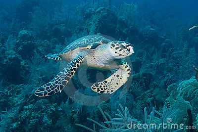 Green Sea Turtle Nassau Bahamas
