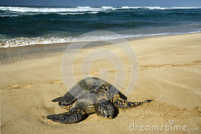 Green sea turtle, North Shore of O ahu, Hawaii
