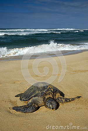 Green sea turtle, North Shore of O ahu, Hawaii