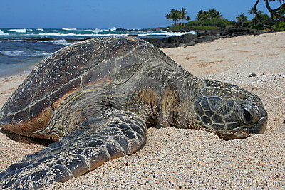 Green Sea Turtle Relaxing on Hawaiian Beach