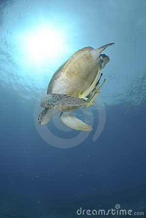Green sea turtle swimming downwards