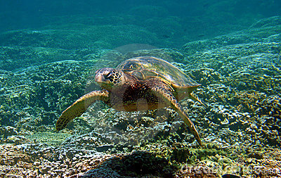 Green Sea Turtle Swimming Underwater in Hawaii