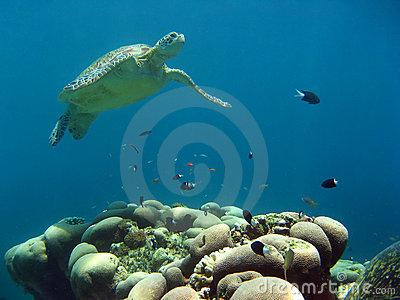 Green sea turtle underwater sipadan borneo