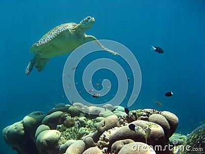Green sea turtle underwater sipadan borneo