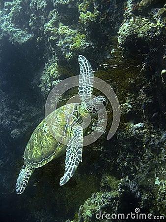 Green sea turtle underwater sipadan coral reef